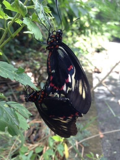 Valentines day butterfly humping.....